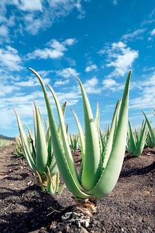 Aloe vera plantage auf furteventura