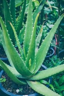Aloe vera, tropische grünpflanzen