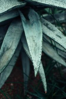 Aloe vera verlässt nahaufnahme in einem botanischen garten. eine tropische heilpflanze verträgt leicht hitze.