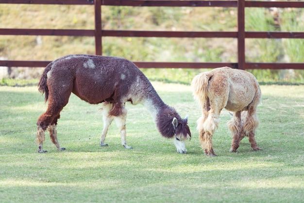 Alpaka, das gras im bauernhof mit zaun isst.