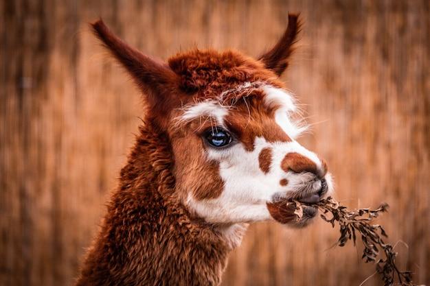 Alpaka, das grasporträt isst