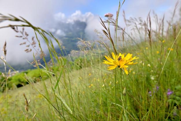 Alpengelbe wildblume, die auf der wiese mit einer bienensammlung und bewölktem berghintergrund blüht