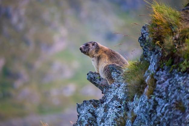 Alpenmurmeltier (marmota marmota) zwischen den steinen auf einem verschwommenen