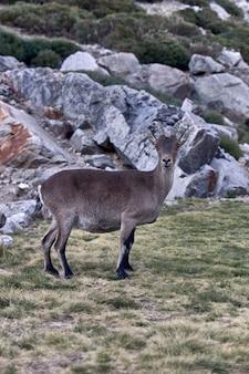 Alpensteinbock oder capra pyrenaica auf dem gipfel des berges gegen steine im gebirgszug sierra de gredos.