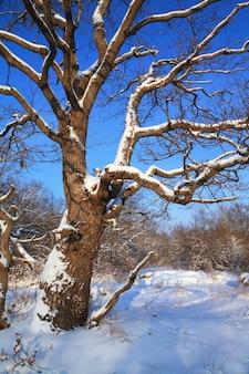 Alte eiche im winterholz
