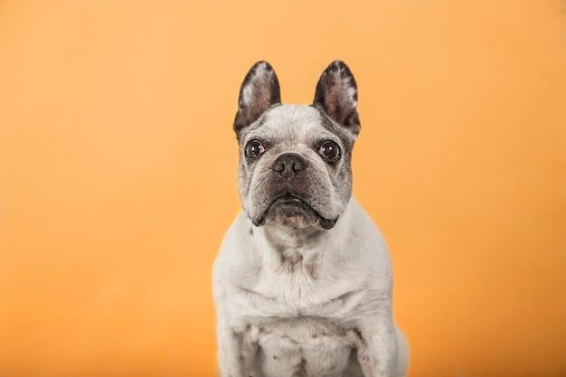 Alte französische bulldogge, die kamera lokalisiert auf gelbem hintergrund betrachtet.