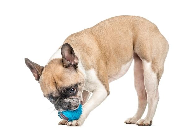 Alte französische bulldogge, die mit einem blauen ball spielt, lokalisiert auf weiß