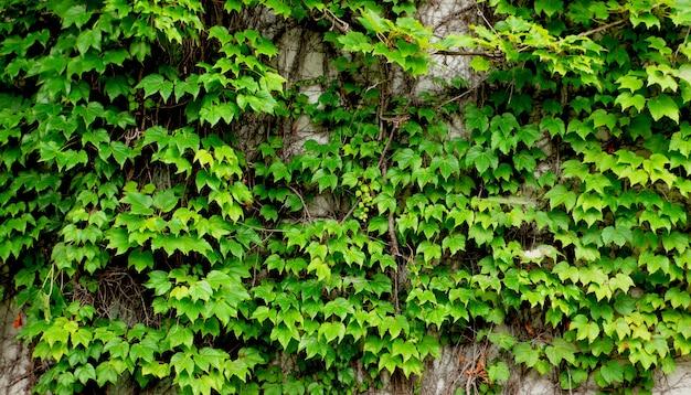 Alte mauer bedeckt von frischen grünen efeuzweigen und -blättern