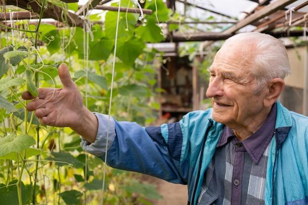 Alter älterer mann, der gurke am bauernhofgewächshaus hält und prüft