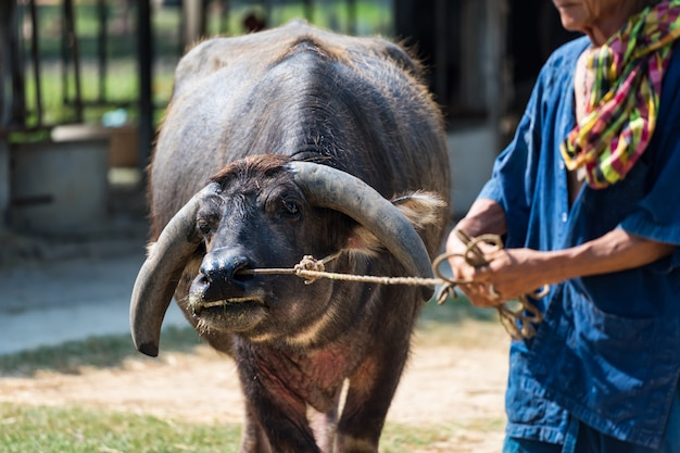 Alter bauer ziehen büffel zur reisfarm