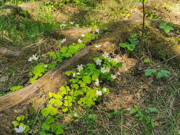 Alter baum, der mit moos- und blumenfrühlingsblumen auf einem baumstamm überwachsen ist