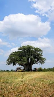 Alter großer affenbrotbaum in der savanne.