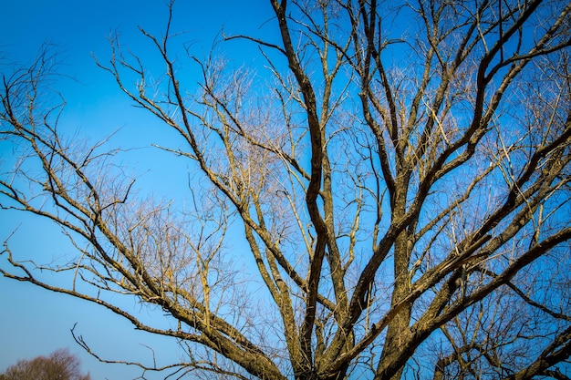 Alter großer baumzweige über klarem blauem himmelhintergrund.