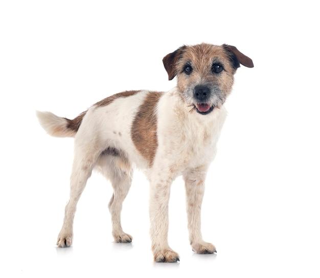 Alter jack russell terrier vor weißer oberfläche