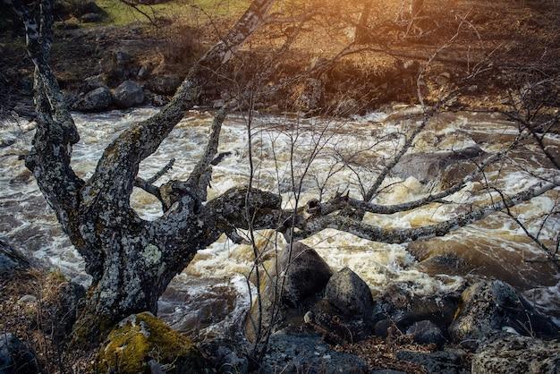 Alter kahler baum, bedeckt mit flechten, lehnte sich tief über stürmischen gebirgsfluss.