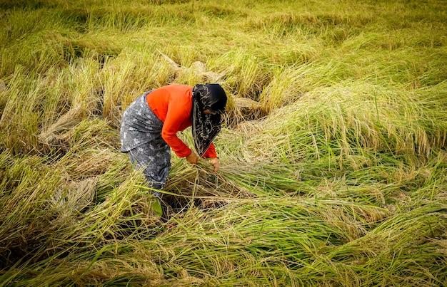 Alter landwirt, der an der reisplantage arbeitet