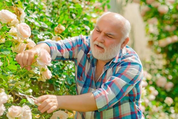 Alter mann, der rosen im garten aufnimmt