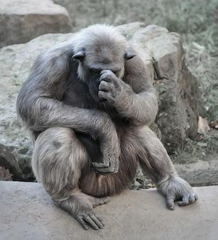 Alter schimpanse sitzt mit einer handfläche im gesicht in gedanken versunken