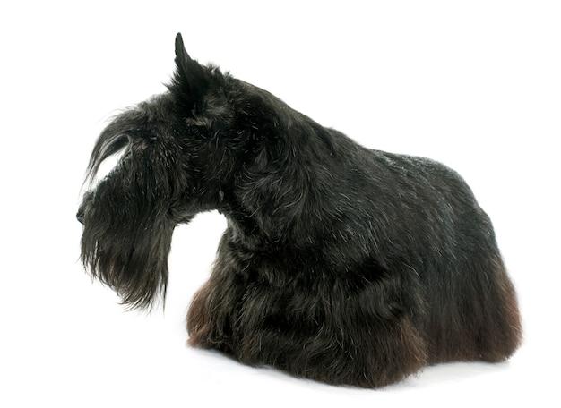 Alter schottischer terrier