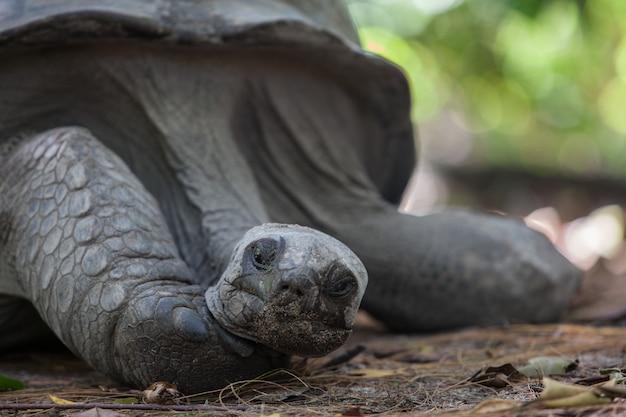 Altes riesenschildkrötenporträt. hochwertiges foto