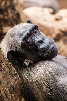 Altes schimpansenporträt