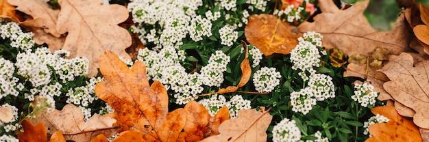 Alyssum weiße blumen in voller blüte unter den gefallenen orangefarbenen herbsteichenblättern im herbstpark. banner
