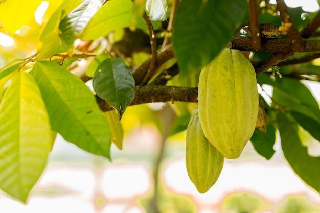 Am baum wachsen grüne und gelbe kakaoschoten