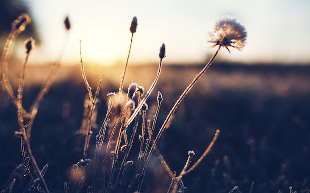 Am frühen morgen gefrorene raureifpflanze am frühen herbstmorgen. frostige pflanzen im garten, der winter naht. schöner winterhintergrund.