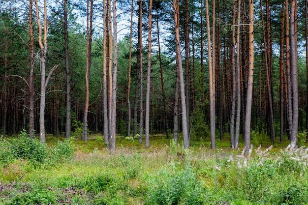 Am frühen morgen mit sonnenaufgang im kiefernwald.