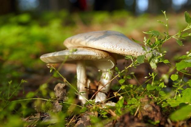 Amanita phalloides wächst unter grünem gras. vergifteter pilz.