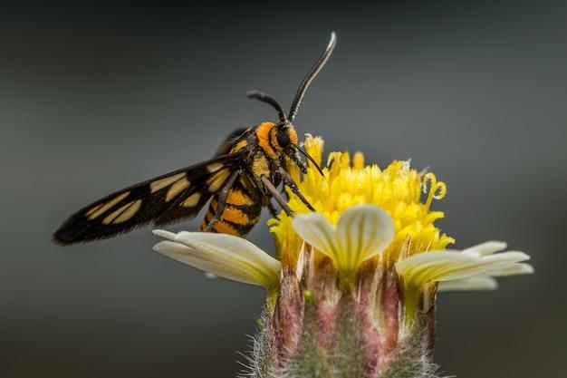 Amata huebneri tag fliegende motte, die nektar auf gelber blume sammelt