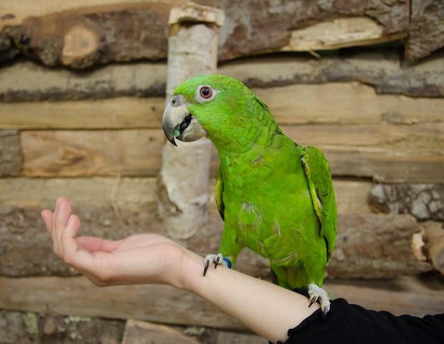 Amazonas-papagei, der auf einer menschlichen hand sitzt
