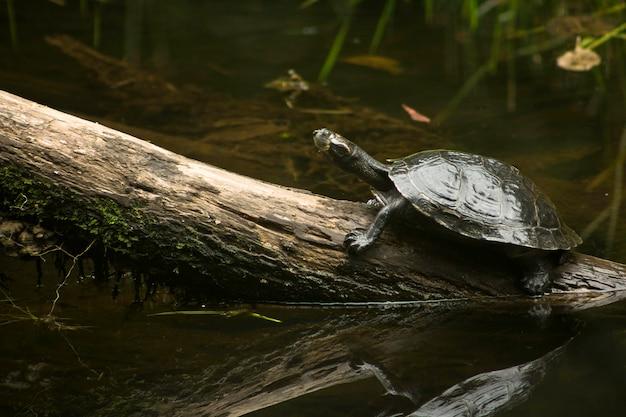 Amazonasschildkröte