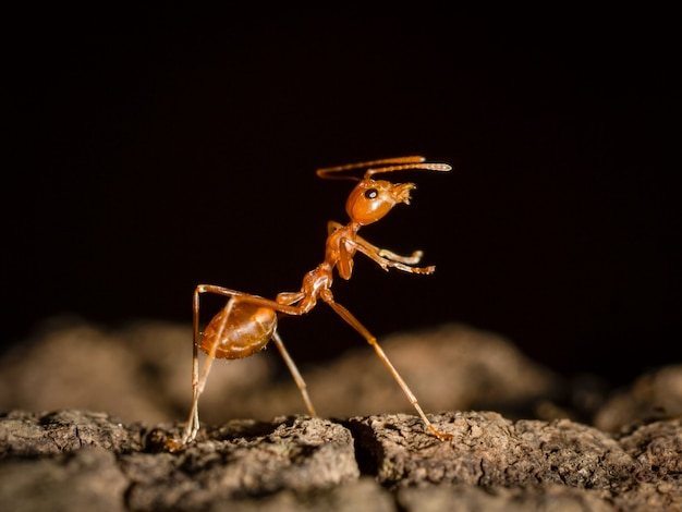Ameise, die auf baum in der natur auf schwarzem dunklem hintergrund geht