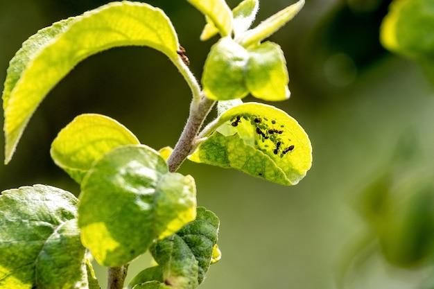 Ameisen auf einem jungen grünen apfelblatt. ameisen beschädigen den baum