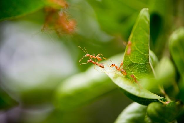 Ameisen helfen, zwei blätter zu verbinden.