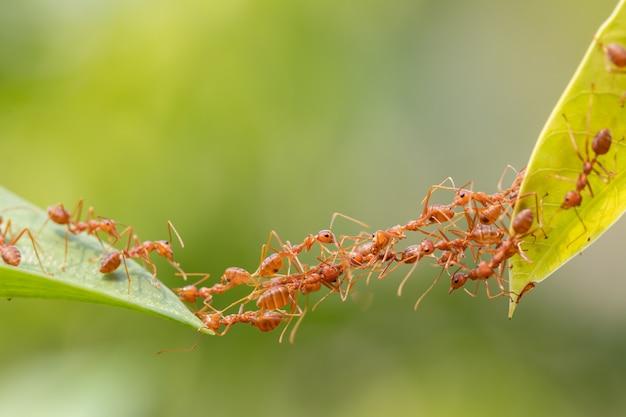 Ameisenaktionsstellung. ameisenbrücken-einheitsteam