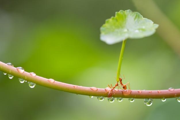 Ameisenaktionsstellung. tragen sie nicht grünen blattregenschirm für schutz