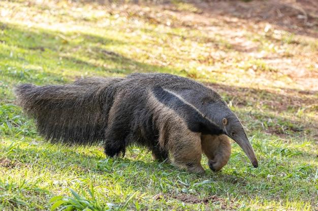 Ameisenbär, süßes tier aus brasilien. riesenameisenbär, myrmecophaga tridactyla, tier mit langem schwanz und schnauzennase