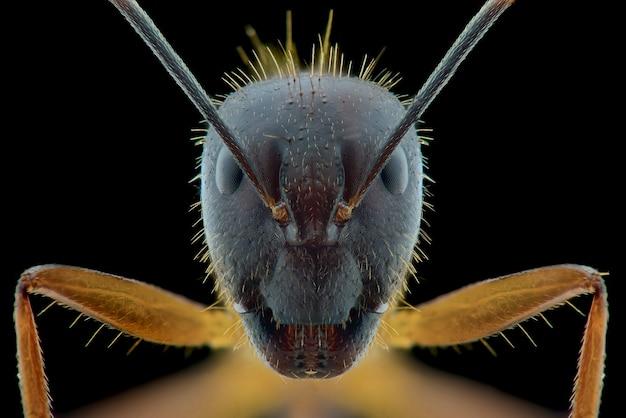 Ameisengesichtsmakro