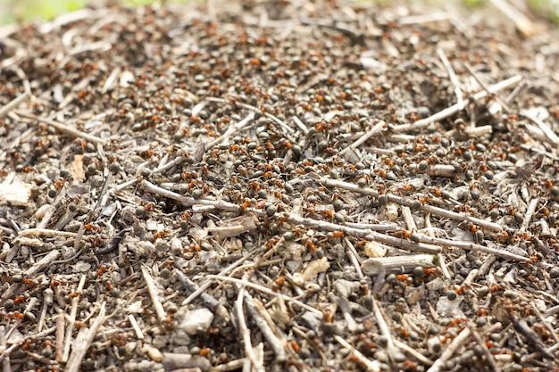 Ameisenhaufenmakrobild-insektenabschluß herauf unscharfen hintergrund