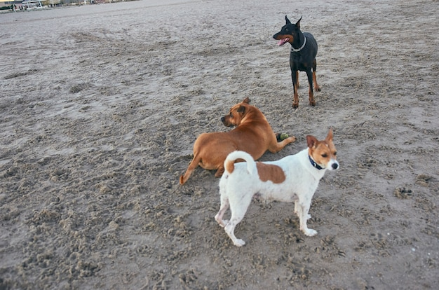 American staffordshire terrier und mongrell und dobermann hunde am strand laufen.