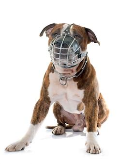 American stafforshire terrier und maulkorb