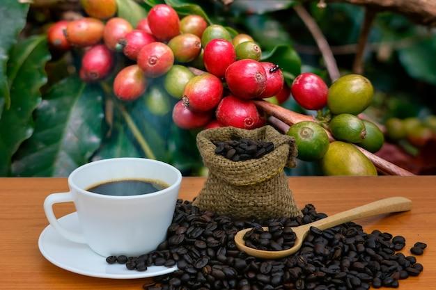Americano-kaffee in einer weißen tasse kaffee, der hintergrund von arabica-kaffeebohnen, die auf dem baum gekocht werden.