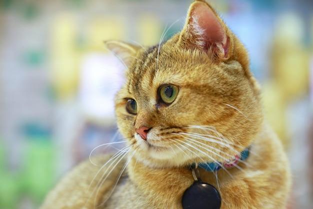 Amerikanisch kurzhaar überraschte die großen augen des lustigen gesichtes der katze oder des kätzchens, die sich amüsieren.