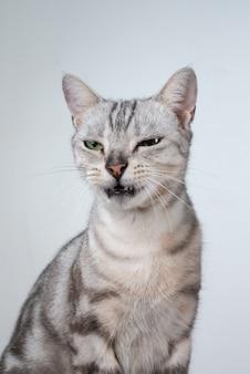 Amerikanische katze mit kurzen haaren, die seine süße katze des mundes öffnet, die ein lustiges gesicht macht.