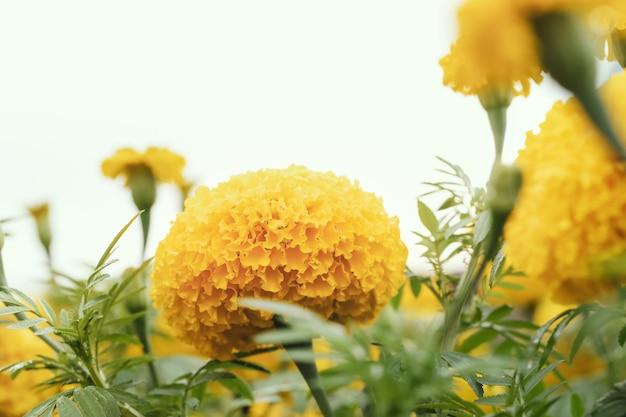 Amerikanische ringelblume (afrikanische ringelblume) in der natur.