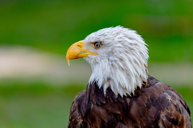 Amerikanischer adler vogel
