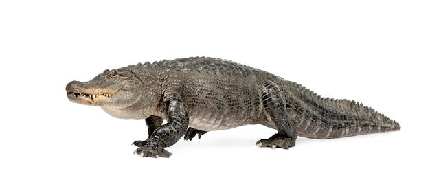 Amerikanischer alligator, alligator mississippiensis, isoliert auf weiß