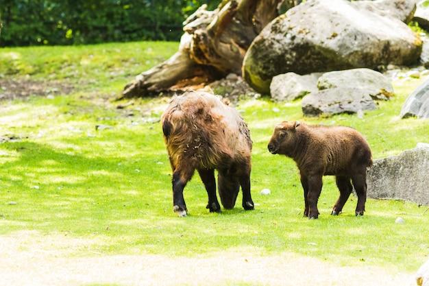 Amerikanischer bison (bisonbison) weiden lassend auf der wiese